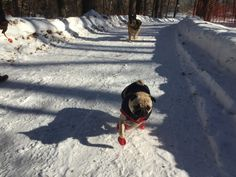 "moosepug:  ""Try and catch me!!!"""