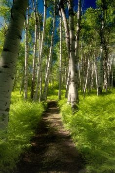 Mother Nature at her Best! I <3 Aspen Trees!   Red Bell Ranch --Steamboat Springs, Colorado