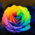 Forget a dozen red roses... I'm all about these rainbow roses! :)
