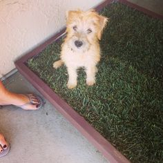 Posing on his large dog potty patch in Hollywood Hills from Doggy and the City. The real grass dog potty patch experts. Potty Training Puppy Apartment, Puppy Potty Training Tips, Indoor Dog Potty, Dog Litter Box, Dog Words, Real Dog, The Perfect Dog, Cute Dogs, Dogs And Puppies