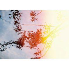 【s_ak_i.cnn】さんのInstagramをピンしています。 《. * 蝶々がひらり ふわり 街は春のように ふれあい通り 咲いた 偽物の桜花 * * #フィルム#写真撮ってる人と繋がりたい#写真好きな人と繋がりたい#film#フィルムに恋してる#ふぃるむ#エビプリ#canoneos1000s#canon#igers#igersjp#ig_japan#team_jp_#indies_gram#instalike#instagood#カメラ女子#ファインダー越しの私の世界#桜花#桜#flowers#感光》