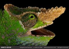 A West Usambara two-horned chameleon