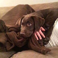 "Watched Mean Girls with mom tonight. They kept saying ""fetch"" but Regina was right the fetch never happened repost: Chocolate Labrador Retriever, Labrador Retrievers, Lab Puppies, Cute Puppies, I Love Dogs, Puppy Love, Chocolate Labs, Happy Pictures, Amazing Dogs"