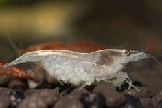 White Pearl dwarf shrimp ( Neocaridina cf. zhangjiajiensis)