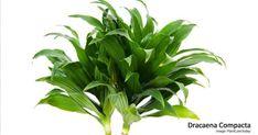 Janet Craig Compacta Care: Growing Dracaena Compacta Plant
