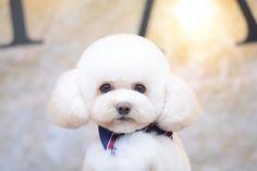 Bichon Frise, Maltipoo Haircuts, Poodle Haircut, Creative Grooming, Pet Grooming, Fur Babies, Hair Cuts, Bichons, Poodles