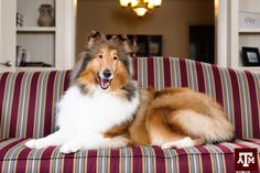 Texas A&M is excited to introduce Reveille IX to Aggieland!