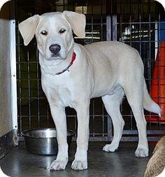 #CALIFORNIA #URGENT ~ ID 24289 is a 10mos Yellow Labrador Retriever mix  - What a cutie!   A stray, on his best behavior!!  He's gonna' grow up to be a beautiful boy – he's already gorgeous!  He's sure hoping to get a nice home for the holidays!!  UTD vaccines, will be neutered prior to adoption & in need of a loving #adopter / #rescue at the RAMONA HUMANE SOCIETY  690 Humane Way #SanJacinto CA 92582  ramonahumanesociety@yahoo.com  Ph 951-654-8002
