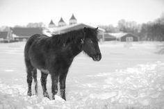 #blizzard2k16 #madisonfields #farmlife Miniature Horses, Montgomery County, Farm Life, Acre, Fields, Animals, Animales, Animaux, Animal