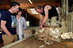 A True experience of New Zealand sheep shearing at 'The point sheep Shearing Show. in Kaikoura, meet the dogs and sheep on this third generation working farm