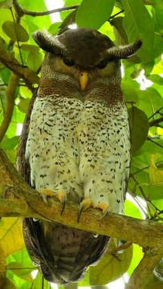 ^Barred Eagle Owl (Bubo sumatranus) found in Indonesia, Malaysia and Thailand Beautiful Owl, Animals Beautiful, Cute Animals, Exotic Birds, Colorful Birds, Exotic Pets, Pretty Birds, Love Birds, Owl Pictures