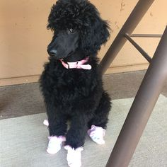 I put socks on our poodle puppy so she won't burn her feet on the hot Arizona pavement.