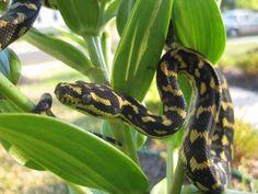 Jungle Carpet python | Morelia spilota cheynei