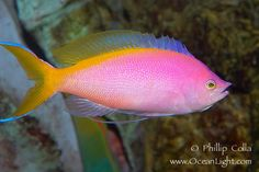 Purple Queen anthias  Range: Pacific Ocean: Bali and the Ryukyu Islands to the Tuomoto Islands, north to southern Japan, south to Australia and New Caledonia; throughout Micronesia