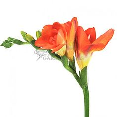 Orange Freesia Flowers