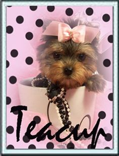 Yorkie Puppy - My sister has one!