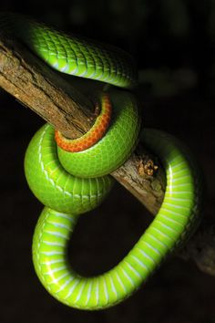 Green Pit a Viper Pretty Snakes, Cool Snakes, Colorful Snakes, Beautiful Snakes, Snake Turtle, Spiders And Snakes, All About Snakes, Serpent Snake, Pit Viper