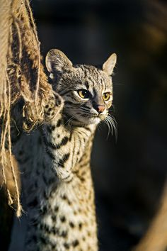 Geoffroys cat holding the bag