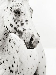 Think North, spotted, black and white, horse, hest, beautiful, gorgeous, cute, nuttet, animal, photo.