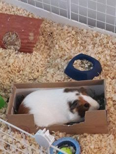 Nibble Standing in His Hay Box : guineapigs