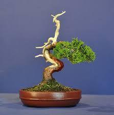Image result for juniper bonsai shohin