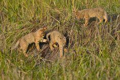 jungle cat kittens