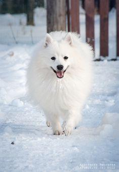 japanese spitz in the snow - white on white
