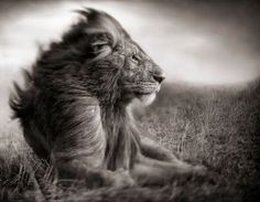 Nick Brandt's stunningly beautiful black and white photographs on safari in Africa. #lion #nickbrandt #photography