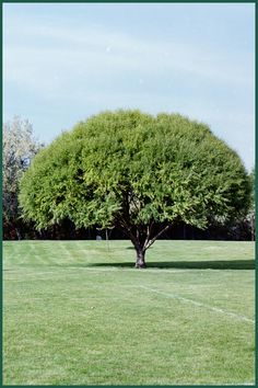 Globe Willow Tree - just planted one in my yard, hope it looks this good when it's full size!