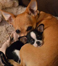 Chihuahua mom and baby image via www.Facebook.com/CuteChihuahuaFans