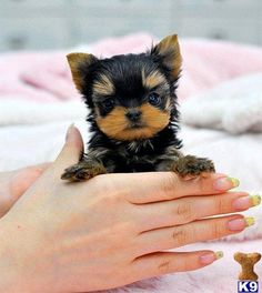 Love the tiny face and little button nose on this yorkie. I'll take two, please!