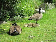 Goslings with their parents Vancouver Photos, Granville Island, Island Life, Garden Sculpture, Parents, Art, Craft Art, Fathers, Raising Kids