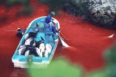 """Dolphin slaughter in Taiji Japan, if you haven't seen the movie or read the book, """"The Cove"""", make yourself aware."""
