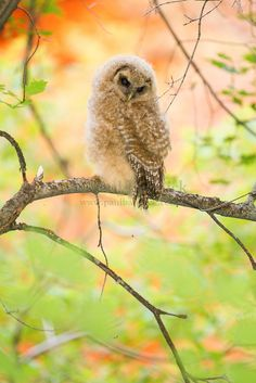 A juvenile Mexican Spotted Owl hides among the maple trees in his Utah canyon home.
