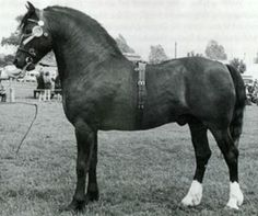 Llanarth Braint 1948 - 1979. He was Palomino (later turned chestnut) and stood 14.2hh .In 1958 at the Ponies of Briton Show, he won the championship 'in hand', 1st under saddle, in harness and was crown Supreme Champion of the whole show. After 4 successive 3rd prizes at the Royal Welsh in 1957,1958,1959 & 1960, he won the stallion class and he also stood reserve for the George, Prince of Wales Cup. At the age of 19 at Royal Agricultural Society of England Show 1969,he stood Champion Welsh…