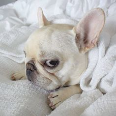 What a face, French Bulldog