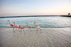 flamingos on renaissance island