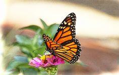Monarch Magic by Olahs Photography Ola Allen)