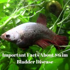 What Is Swim Bladder Disease? It's a common disease that affects many betta fish. Find out how to identify and treat it and other betta fish diseases.