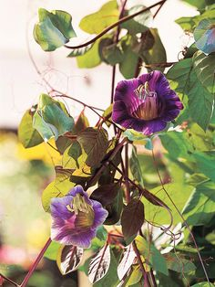 Cup and Saucer Vine (Cobaea scandens)...evergreen perennial...grows to 40 ft...blooms summer thru fall