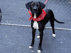 SAFE 04/10/13 Manhattan Center JACKSON #A0961121. A male black/white pit bull mix about 1 YR 6 MONTHS old. Jackson could be a fashion model! an elegant dog with long legs and a labbish face. a nice, handsome dog who loves to be petted and leans. its time for him to find a real family who will appreciate him as their BFF. don't let tonight be Jackson's last Adopt/foster https://www.facebook.com/photo.php?fbid=594351360577747=a.275017085844511.78596.152876678058553=1