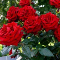 Specialty Plant Food: adding compost as an organic fertilizer, adjusting soil pH, applying fertilizers in season with varied NPK [LEARN MORE] Romantic Roses, Beautiful Roses, Beautiful Gardens, Red Flowers, Red Roses, Garden Bulbs, Landscape Services, Rose Bush, Organic Fertilizer
