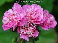 Pelargonie - Pelargonium Sweet Jess
