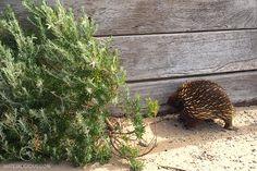 Point Nepean Echidna - Matejalicious Travel and Adventure