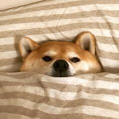 いいね!14.2千件、コメント52件 ― 柴犬マロたん。さん(@minapple)のInstagramアカウント: 「I am dead tired. ぶどう狩りに連れてかれてお疲れだそうです #ブログ書いたよ ----------✂︎キリトリ線✂︎---------- 【おしらせ】…」