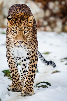Beautiful amur leopard stalking in the snow. Big Cats, Cool Cats, Beautiful Cats, Animals Beautiful, Wildlife Photography, Animal Photography, Regard Animal, Animals And Pets, Cute Animals