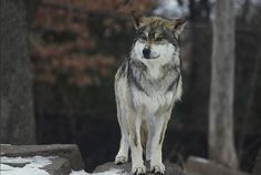 Mexican gray wolf (Canis lupus baileyi) by Jeff Wiles.