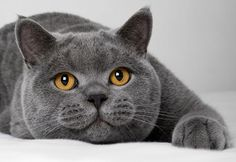 british shorthair - Google 検索
