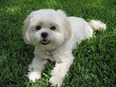 Lhatese aLhasa Apso and Maltese Hybrid at 5 years old. Weighs about 10 pounds.