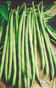 An early and productive gourmet delight. The exceptionally long, medium-green pods grow to over 10 inches long. This stringless French pole bean can be harvested at 6-7 inches for extra slender filet beans. Scrumptious when fresh, the rich, sweet flavor is a welcome treat.